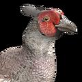 Pheasant male leucistic
