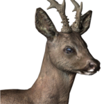 Roe deer male common