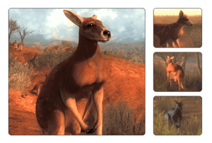 Species kangaroo