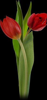 File:Tulip2.jpg