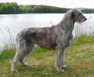 Irish Wolfhound a Dog