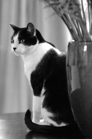 File:Contemplative-cat-black-and-white-jill-reger.jpg