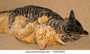 Stock-photo-orange-and-tabby-cats-fighting-and-playing-53407603