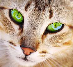 File:Cat with Green eyes.jpg