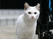White-Cat-Face-Wallpaper-HD