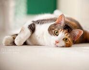 Calico-cat 4155150