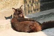 220px-A black Cat-photographed by Rajdeep Das
