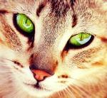 Cat with Grreen eyes