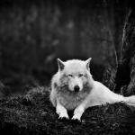 File:Darkwolf.jpg
