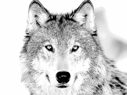 File:Wolf-sketch.jpg