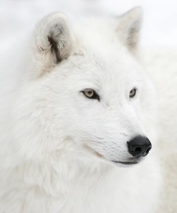 File:Whitewolfess.jpg