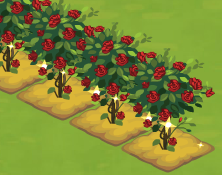 Rose Bushplanted