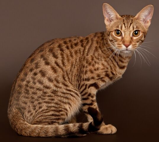 File:Spotted tabby-example.jpg