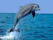 Dolphin 3