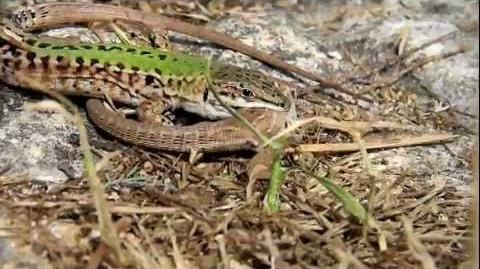 Wall Lizards Mating (Podarcis sicula) - HD