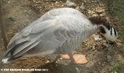 Captive Bar-headed Goose
