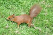 Redsquirrelsteve