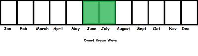 Dwarf Cream Wave TL