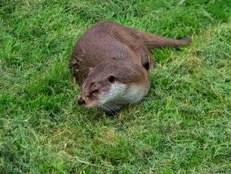 Otter at British Wildlife Centre