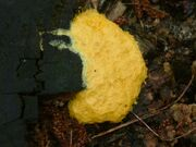 Fuligo septica Slime mould Brindley Heath