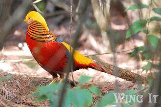 Golden Pheasant (S.Allen)