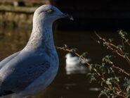 3rd Winter Herring Gull