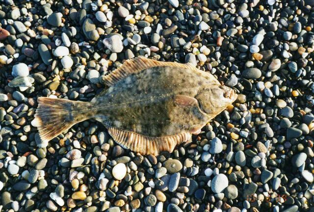 File:Flounder.jpg
