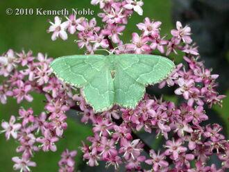 Common emerald
