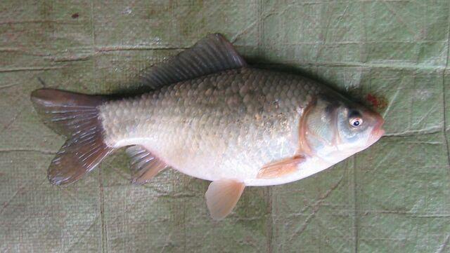 File:Standard Goldfish.jpg