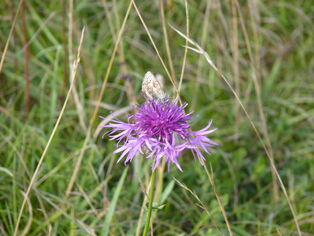 Blue Butterfly on Greater Knapweed