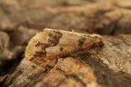 Mottled Umber 1 (Erannis defoliaria)