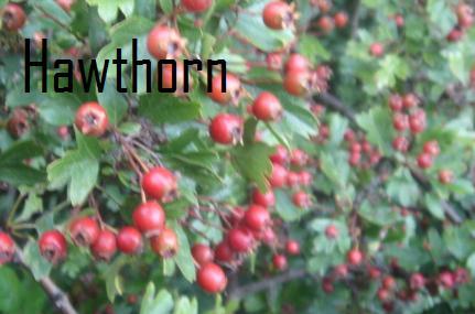 File:Hawthorn.jpg