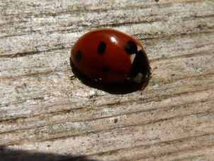 Coccinella 7-punctata ~ Seven-spot Ladybird