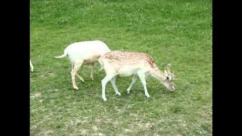 British Wildlife Clips - Fallow Deer