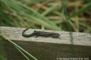 Common Lizard 2
