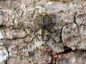 Small brindled beauty - photo K.Noble