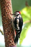 British birds 042