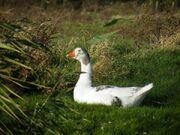 Pied Cotton Patch Goose