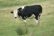 Cattle (2)