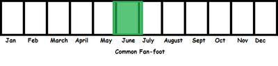 Common Fan-foot TL