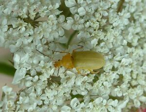 Cteniopus sulphureus Sulphur beetle