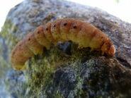 BBYU Larva