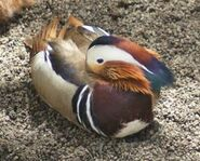 Manadarin Duck