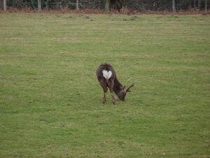 Sika Deer Arne