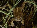 Natterjack toad.jpg