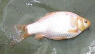 Albino Goldfish