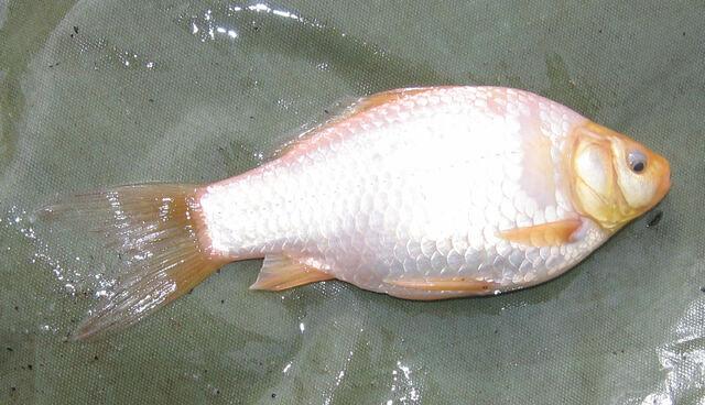 File:Albino Goldfish.jpg