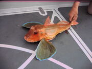 5 lb Tub or Yellow gurnard