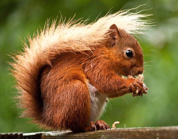 File:Red Squirrel2.jpg