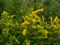 Canadian Goldenrod.JPG